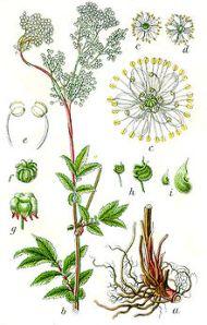 Spirea Ulmaria da Wikipedia